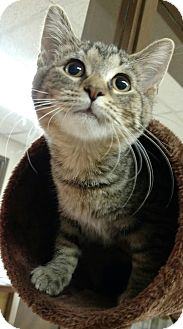 Domestic Shorthair Kitten for adoption in Troy, Ohio - Joon