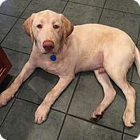 Adopt A Pet :: Phil - Falls Church, VA