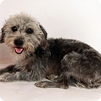 Adopt A Pet :: Mike TerriPoo - St. Louis, MO