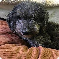 Adopt A Pet :: 'LILO' - Agoura Hills, CA