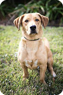 Labrador Retriever/Basset Hound Mix Dog for adoption in Calgary, Alberta - Buddy