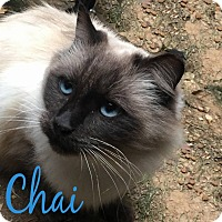 Adopt A Pet :: Chai - Tega Cay, SC