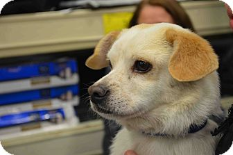 Pug/Golden Retriever Mix Dog for adoption in Loudonville, New York - Thursday