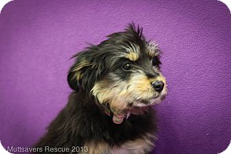 Shepherd (Unknown Type)/Terrier (Unknown Type, Medium) Mix Puppy for adoption in Broomfield, Colorado - Strudel