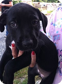 Labrador Retriever Mix Dog for adoption in Waldorf, Maryland - Leah