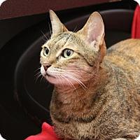 Adopt A Pet :: Tiggy - Sarasota, FL