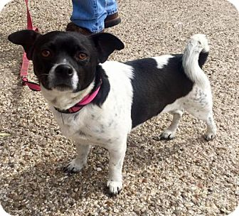 Rat Terrier/Chihuahua Mix Dog for adoption in Clifton, Texas - Oscar