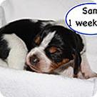 Adopt A Pet :: Penelope's Sam