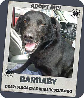 Labrador Retriever Mix Dog for adoption in Lincoln, Nebraska - BARNABY - HOSPICE CARE
