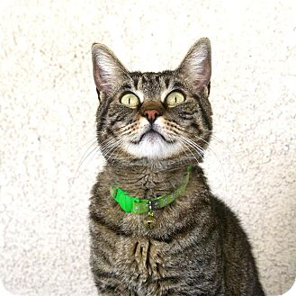 American Shorthair Cat for adoption in Canyon Country, California - Amber