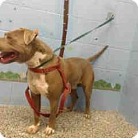 Pit Bull Terrier Dog for adoption in San Bernardino, California - URGENT ON 9/7  San Bernardino