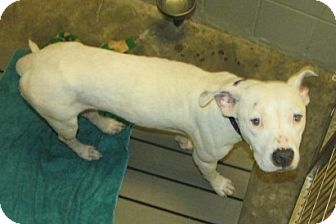 American Bulldog Mix Dog for adoption in Aiken, South Carolina - BRANDI