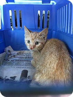 Domestic Shorthair Cat for adoption in Brainardsville, New York - Geena