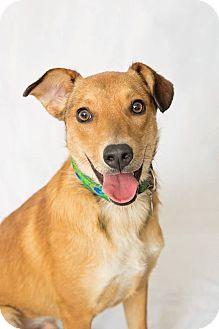 Golden Retriever/German Shepherd Dog Mix Dog for adoption in Nashville, Tennessee - Marshall