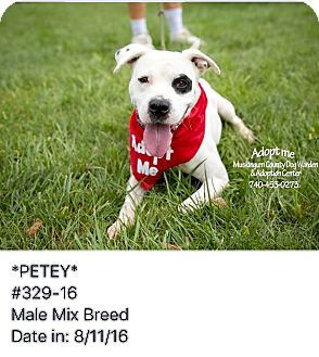 Boxer Mix Dog for adoption in Zanesville, Ohio - Petey - ADOPTED!