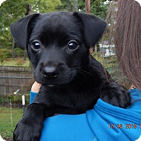 Adopt A Pet :: Shae (5 lb) Video! - Williamsport, MD