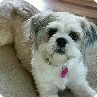 Shih Tzu Mix Dog for adoption in Minneapolis, Minnesota - Cassidy