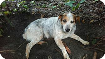 Australian Cattle Dog/Terrier (Unknown Type, Medium) Mix Dog for adoption in Bradenton, Florida - Gemma