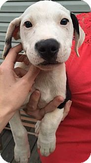 Labrador Retriever/Pointer Mix Puppy for adoption in Arlington, Massachusetts - Asher