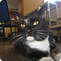 Domestic Shorthair Cat for adoption in Ridgway, Colorado - Caliente