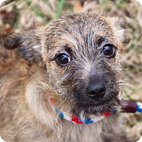 Adopt A Pet :: Daisy terrier - Coopersburg, PA