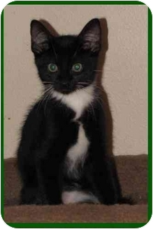 Domestic Shorthair Kitten for adoption in Orlando, Florida - Webster