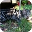 Photo 1 - Domestic Shorthair Cat for adoption in Colmar, Pennsylvania - Blue Girl