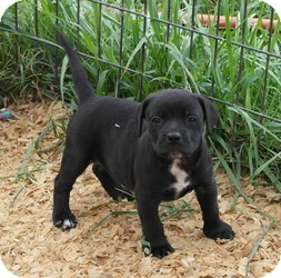 Labrador Retriever Mix Puppy for adoption in Seneca, South Carolina - Charolette