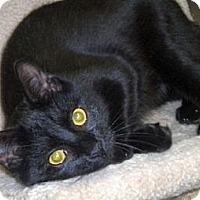 Domestic Shorthair Cat for adoption in Huntington, New York - Oli