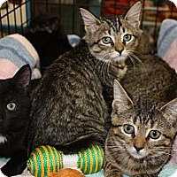 Adopt A Pet :: Kittens - tigers - Vero Beach, FL