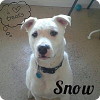 American Pit Bull Terrier Mix Dog for adoption in ONeill, Nebraska - Snow