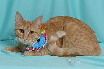 Domestic Shorthair Cat for adoption in Kerrville, Texas - Elizabeth