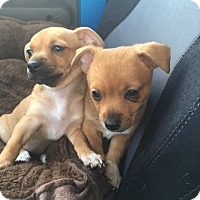 Adopt A Pet :: Raksha - Las Vegas, NV