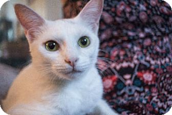 Domestic Shorthair Kitten for adoption in Savannah, Georgia - Panda