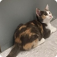 Domestic Shorthair Kitten for adoption in Flower Mound, Texas - Betsy