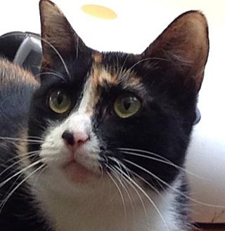 Domestic Shorthair Cat for adoption in Newtown Square, Pennsylvania - Rosie
