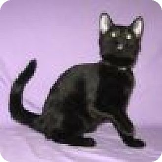 Domestic Shorthair Cat for adoption in Powell, Ohio - Toni