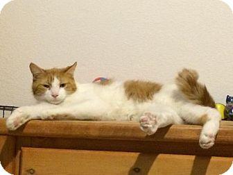 Domestic Shorthair Cat for adoption in Denver, Colorado - Michael 'Mickey'