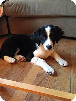 Border Collie Mix Puppy for adoption in Hainesville, Illinois - Tillie