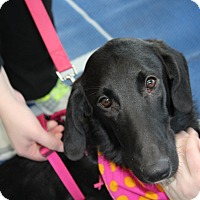 Collie/Labrador Retriever Mix Dog for adoption in joliet, Illinois - Heidi
