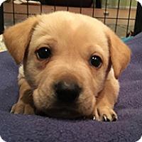Adopt A Pet :: Buttercup's Biscuit - Chantilly, VA