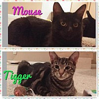 Adopt A Pet :: Tigger/Mouse - Chicago, IL
