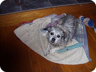 Schnauzer (Standard)/Pekingese Mix Dog for adoption in Germantown, Maryland - Sammi