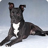 Adopt A Pet :: Thunder - Chicago, IL