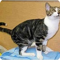 Domestic Mediumhair Cat for adoption in Chattanooga, Tennessee - Dayton