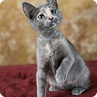 Adopt A Pet :: Violet - Eagan, MN