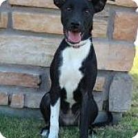 Adopt A Pet :: Little Bit - Justin, TX