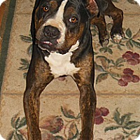 Boxer Mix Dog for adoption in Toluca Lake, California - Rufus