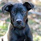 Adopt A Pet :: PUPPY HANDSOME SAMSON