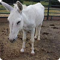 Donkey/Mule/Burro/Hinny Mix for adoption in Farmersville, Texas - Blanco